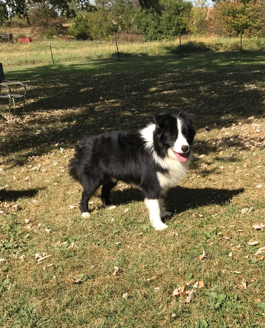 Border Collie Breeder in New Franklin, OH | Border Collies