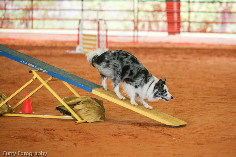 Border Collie Breeder in New Franklin, OH | Border Collies for Sale